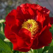 Пион Paeonia Mackinac Grand