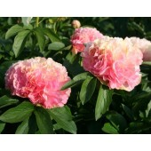Пион Paeonia Lois Choice