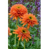 Эхинацея Echinacea Colorburst Orange