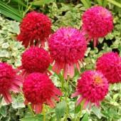 Эхинацея Echinacea Cranberry Cupcake