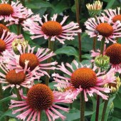 Эхинацея Echinacea Quills and Thrills