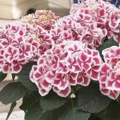Гортензия Hydrangea Camilla