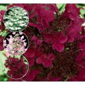 Hydrangea paniculata Wim`s Red