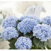 Гортензия Hydrangea Baby Blue