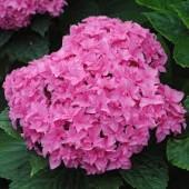 Гортензия Hydrangea Double Pink