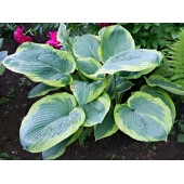 Хоста Hosta Frances Williams