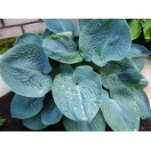 Хоста Hosta Big Daddy