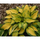 Хоста Hosta Orange Marmalade