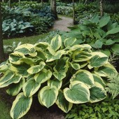 Хоста Hosta Twillight