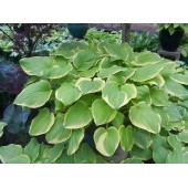 Хоста Hosta Fragrant Bouquett