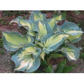Хоста Hosta Golden Meadows