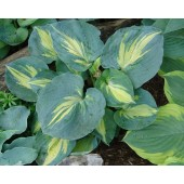Хоста Hosta Dream Queen
