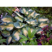 Хоста Hosta Great Expectations