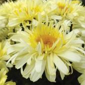 Ромашка Leucanthemum Real Charmer