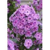 Флокс Phlox Rainbow Dance