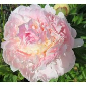 Пион Paeonia Blush Queen