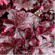 Гейхера Heuchera Midnight Rose Select