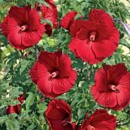 Гибискус Hibiscus My Valentine