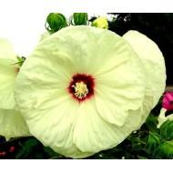 Гибискус Hibiscus Old Yella