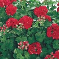 Пеларгония ампельная Pelargonium peltatum Ivy Deep Red