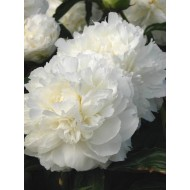 Пион Paeonia Shirley Temple