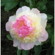 Пион Paeonia Raspberry Sundae