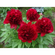 Пион Paeonia Red Charm