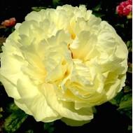Пион Paeonia Lemon Chiffon