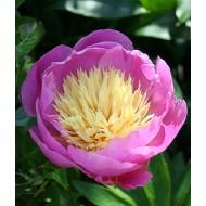 Пион Bowl of Beauty