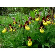 Cypripedium Hank Small Венерин башмачок