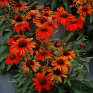 Эхинацея Echinacea Intense Orange