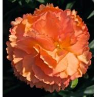 Гвоздика Dianthus Dinamic Apricot