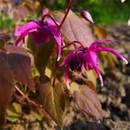 Горянка Epimedium Red Beauty