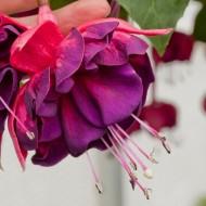 Фуксия (Fuchsia) Purple Rain