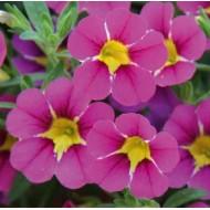 Калибрахоа Calita Special Pink Star