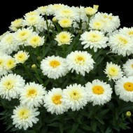Ромашка Leucanthemum Macaroon