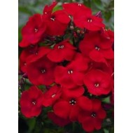 Флокс Phlox Flame Red