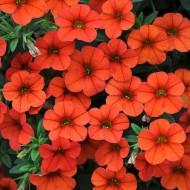 Калибрахоа Orange