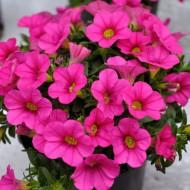 Калибрахоа Calipetite Rose