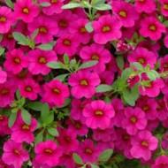 Калибрахоа Calita Rose