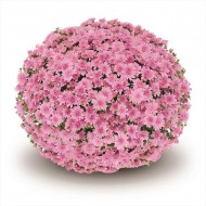 Хризантема Fonti Pink мультифлора рання