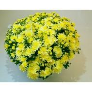 Хризантема Bransound Lemon мультифлора осенняя
