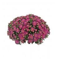 Хризантема Sweet Pink мультифлора ранняя
