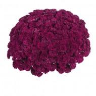 Хризантема Lagoon Purple мультифлора ранняя
