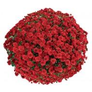 Хризантема Seaside Red мультифлора ранняя