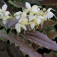 Епимедиум Epimedium Spiny Leaved Form