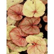 Бузульник Ligularia Garden Confetti