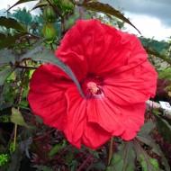 Гибискус Hibiscus Corousel Red Wine