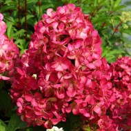 Гортензия метельчатая Hydrangea paniculata Diamant Rouge