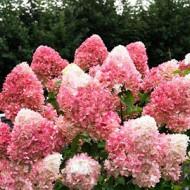 Гортензия метельчатая Hydrangea paniculata Pinky Promise
